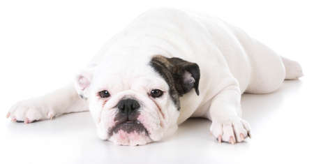 english bulldog puppy laying down on white background Stock Photo
