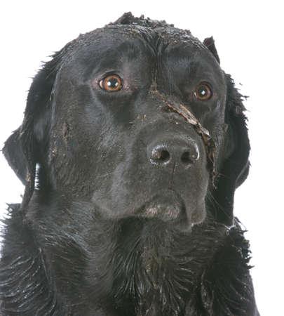 白い背景の上に座って泥だらけの汚い犬
