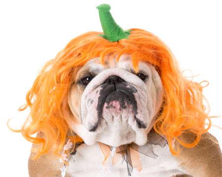 english bulldog wearing pumpkin costume on white background Stock Photo