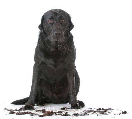 modderige vuile hond zit op een witte achtergrond Stockfoto