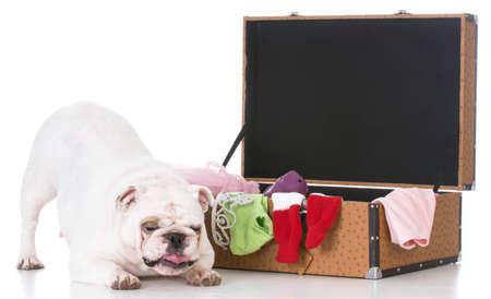 english bulldog beside packed suitcase on white background Banco de Imagens