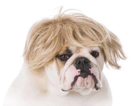 english bulldog wearing a wig on white background