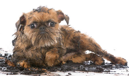 dirty muddy brussels griffon isolated on white background Reklamní fotografie