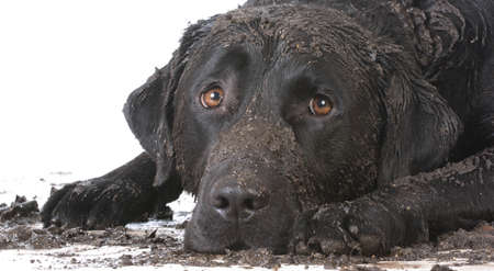 dirty muddy dog laying down on white background