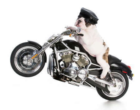 bulldog puppy riding a motorcycle isolated on white background Фото со стока