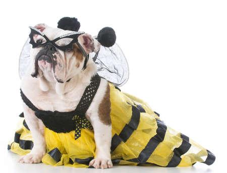 english bulldog wearing a bee costume isolated on white background