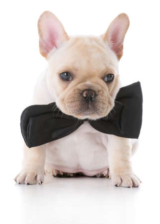 Beautiful Bow Tie Bow Adorable Dog - 65616132-adorable-fawn-french-bulldog-puppy-wearing-a-bow-tie-on-white-background  Graphic_469285  .jpg?ver\u003d6