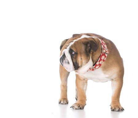 白い背景の悲しそうな恥ずかしい表情を持つ犬 写真素材 - 65616208