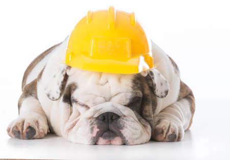 lazy bulldog working dog wearing hard hat isolated on white background Stock Photo