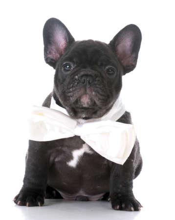 adorable french bulldog puppy wearing white bowtie