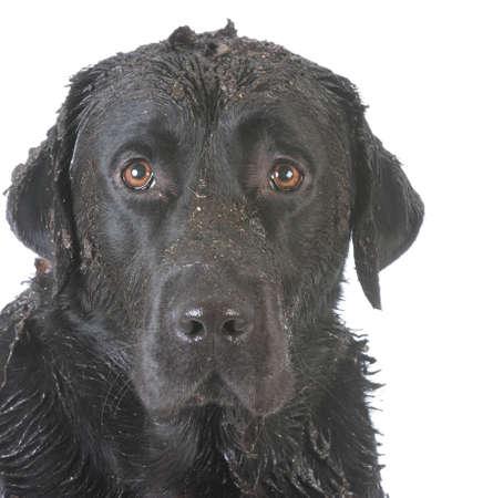 白い背景の上の観察者へ見て汚い泥犬 写真素材