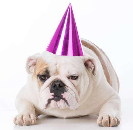 english bulldog wearing birthday hat isolated on white background