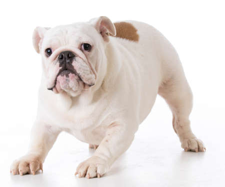 playful bulldog puppy female on white background