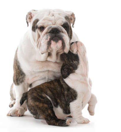 father and daughter english bulldogs isolated on white background