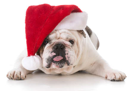 dog with funny expression wearing santa hat on white background