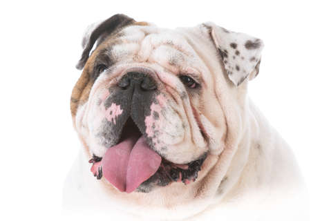 portrait of a happy bulldog isolated on white