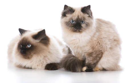 two ragdoll kittens isolated on white Banco de Imagens