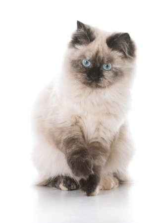 purebred ragdoll kitten isolated on white background