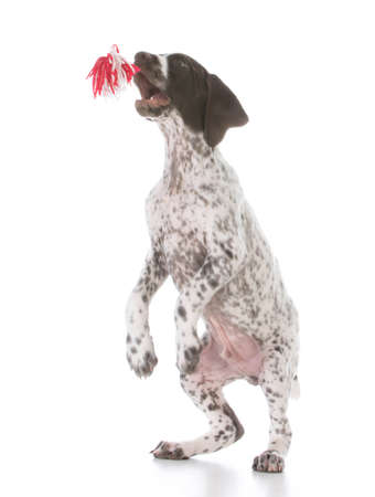 german shorthair puppy jumping to catch toy on white