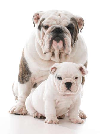 father and son bulldog on white background Banco de Imagens