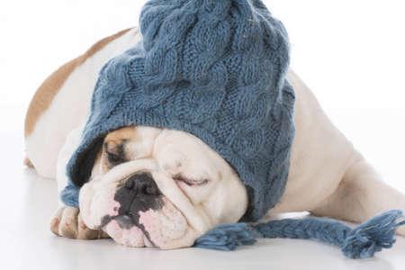 bulldog wearing winter hat on white background