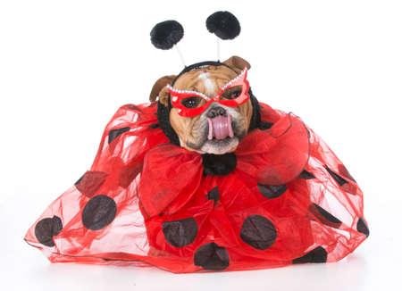 english bulldog wearing ladybug costume on white background