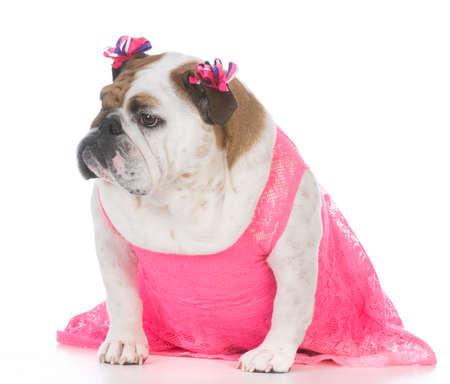 female english bulldog wearing a pink dress isolated on white background