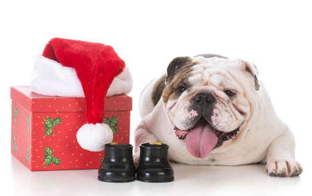 christmas bulldog with present on white background