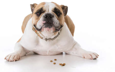 bulldog laying down with dog kibble or treats in front