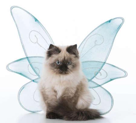 ragdoll kitten wearing angel wings on white background
