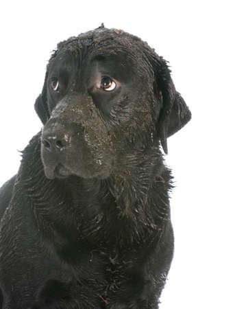 dirty muddy dog on white background