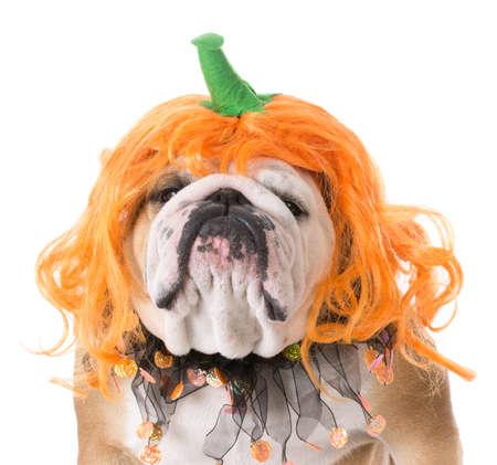 english bulldog wearing pumpkin costume on white background Banco de Imagens