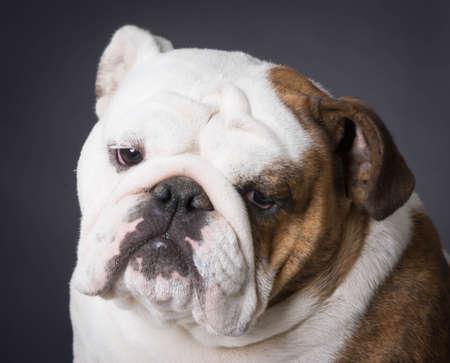 english bulldog portrait on black background