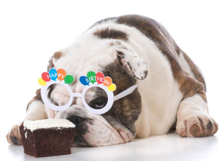 bulldog wearing birthday glasses and sniffing chocolate cake on white background Imagens