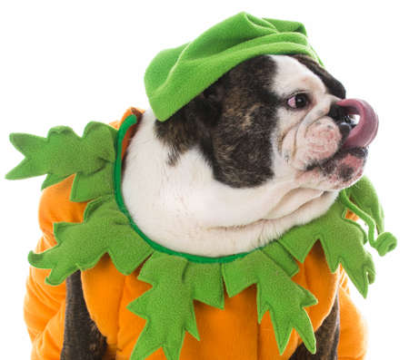 dog wearing a pumpkin costume on white background