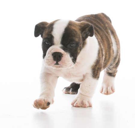 adorable bulldog puppy walking on white background