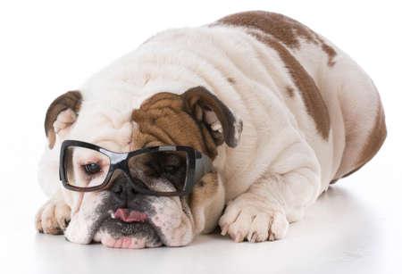 bulldog wearing glasses on white background