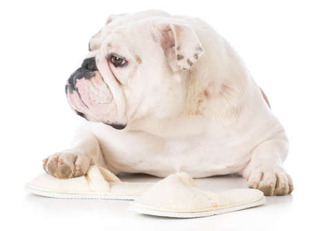 bulldog chewing on slippers on white background