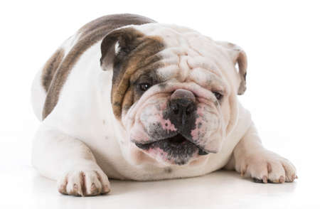 bulldog with mouth open talking to viewer on white background