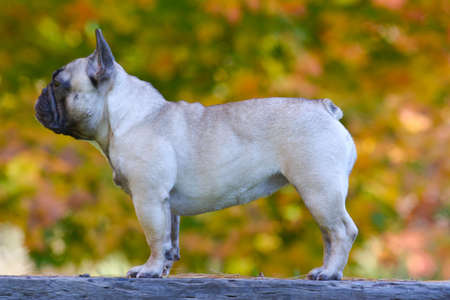 six month old french bulldog female standing outside