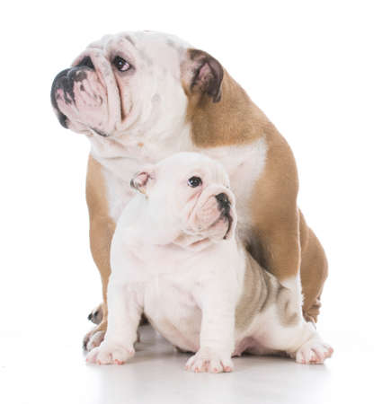 english bulldog mother and daughter looking in opposite directions Banco de Imagens