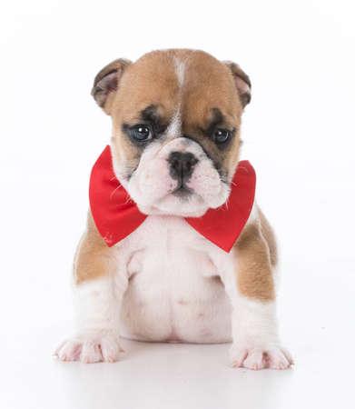 english bulldog puppy wearing red bowtie on white background