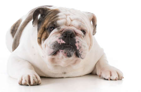 bulldog looking at viewer on white background Banco de Imagens