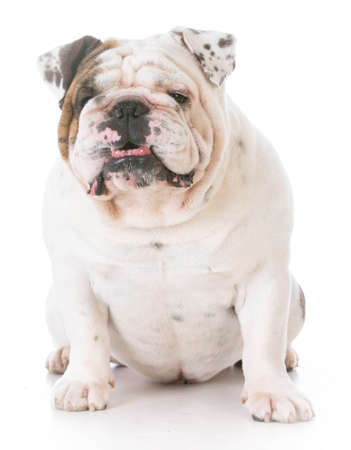 cute bulldog smiling for the camera on white background