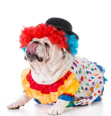 bulldog wearing clown costume on white background Banco de Imagens