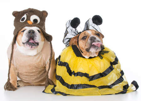 english bulldogs dressed up like the birds and the bees on white background Banco de Imagens