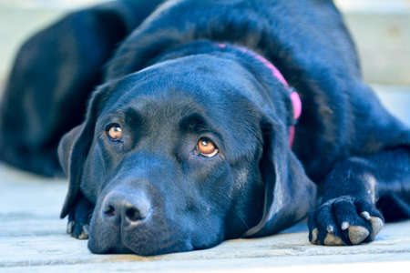 soulful looking labrador retriever laying down