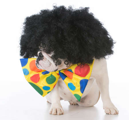 bulldog dressed like a clown on white background