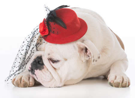 female bulldog laying down wearing hat on white background