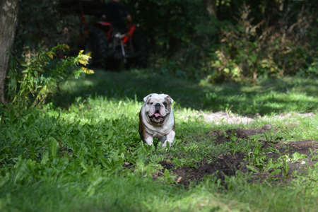 bulldog with happy expression outside in the woods